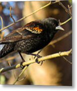 Young Male Red-winged Black Bird Metal Print