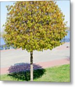 Young Maple Tree Metal Print