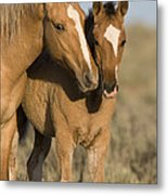 Young Mustangs Playing Metal Print