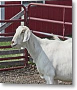 Young Old Goat White And Grayish Red Fence And Gate Barn In Close Proximity 2 9132017 Metal Print