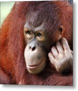 Young Orang Utan Looking Thoughtful Metal Print