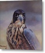Young Peregrine Falcon Metal Print