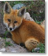 Young Red Fox Metal Print