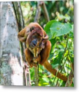 Young Red Howler Monkey Metal Print