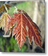 Young Red Maple Leaf In May Metal Print