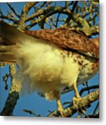 Young Red-tail Metal Print