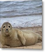 Young Seal Pup On Beach - Horsey, Norfolk, Uk Metal Print