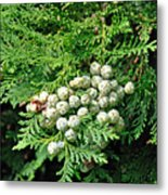 Young Seed Cones Of Lawson Cypress Metal Print