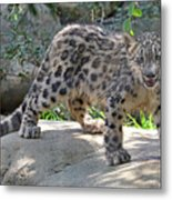 Young Snow Leopard Metal Print