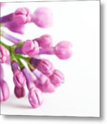 Young Spring Lilac Flowers Blooming Metal Print