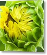 Young Sunflower Metal Print