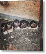 Young Swallows, Lancashire, England, Uk Metal Print