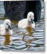 Young 'uns, Black Swan Cygnets Metal Print