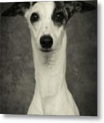 Young Whippet In Black And White Metal Print