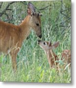 Young White-tailed Deer Say Hello Metal Print