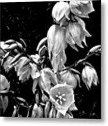 Yucca Blossoms Metal Print