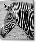 Zebra - Here It Is In Black And White Metal Print