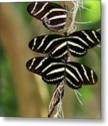 Zebra Butterflies Hanging On Metal Print