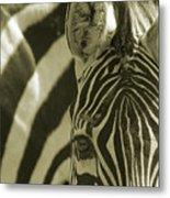 Zebra Close Up A Metal Print