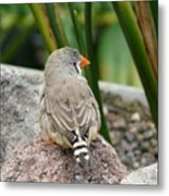 Zebra Finch Metal Print
