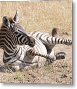 Zebra Foal Rolls In Dust On Savannah Metal Print