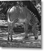 Zebra In Black And White Metal Print
