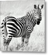 Zebra In The African Savanna Metal Print