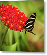 Zebra Long Wing Butterfly Metal Print