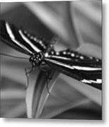 Zebra Longwing Metal Print
