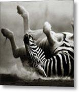 Zebra Rolling Metal Print