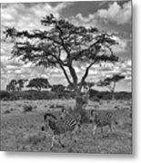 Zebra Running Through Savannah Metal Print