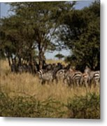 Zebra Seeking Shade Metal Print