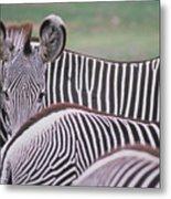 Zebra Stripes In Kenya Metal Print