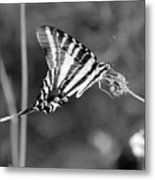 Zebra Swallowtail Butterfly Black And White Metal Print