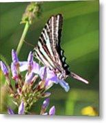 Zebra Swallowtail Butterfly On Phlox Metal Print