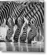 Zebras Drinking Metal Print