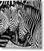 Zebras Triplets Metal Print