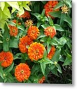 Zesty Zinnias Metal Print