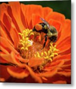 Zinnea With Honeybee Metal Print