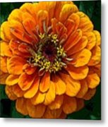 Zinnia At Frankenmuth Metal Print