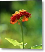 Zinnia Flower Metal Print