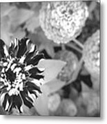 Zinnia In Black And White  Metal Print