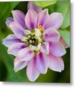 Zinnia In Pink Metal Print