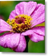 Zinnia In The Rain Metal Print