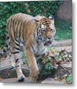 Chicago Zoo Tiger Metal Print