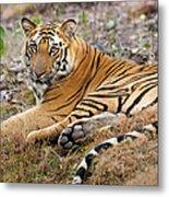 An Adult Tiger In Bandhavgarh National Metal Print