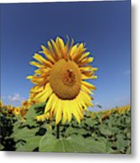 Bee On Blooming Sunflower Metal Print