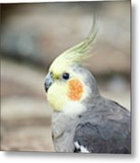 Close Up Of A Cockatiel Metal Print