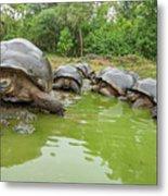 Creep Of Indefatigable Island Tortoises Metal Print