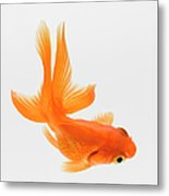 Fantail Goldfish Carassius Auratus Metal Print